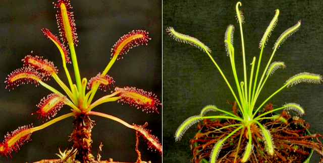 Drosera Capensis Carnivorous Plants