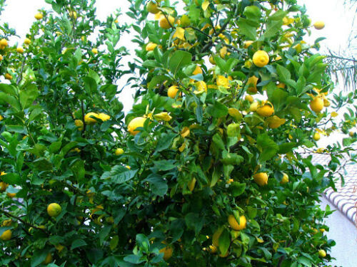 12 to 16 pcs Freshly Picked UNWAXED Lemons 5 lbs box Naturally Grown