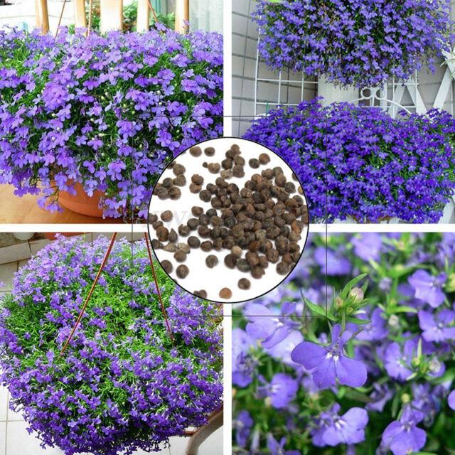 100pcs Lobelia Erinus Flower Seed Plant Garden Trailing Edging