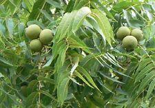 Juglans nigra Black walnut tree (Sent in a 1ltr Pot)