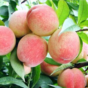 Am-1-Pack-10-Peach-Tree-Seeds-Sweet-Peaches-Peach-Amygdalus-Heirloom-Organics-F
