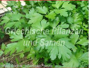griechische-Petersilie-glatt-Riesenblaetter-30-cm-hoch-100-Samen-Kraeuter