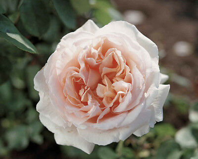 Betty White Rose Live Plant Bare Rooted