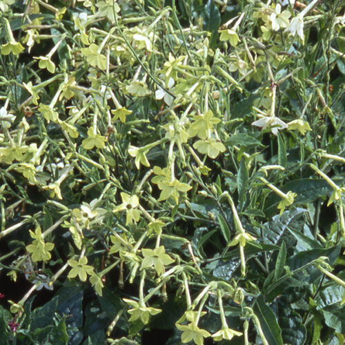 Nicotiana 3000 Seeds Lime Green