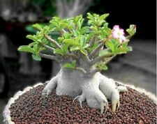 Adenium arabicum Desert Rose - Well Rooted Succulent Plants Caudex Bonsai RARE