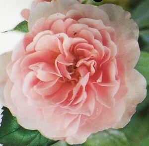 Bonica rose floribunda fragrant profuse medium double soft pink image is loading bonica rose floribunda fragrant profuse medium double soft mightylinksfo