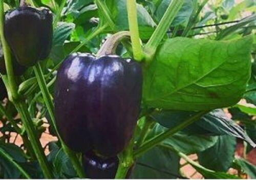 ( 506 )  PREMIER QUALITY BLACK BELL SWEET  pepper- 100 seeds
