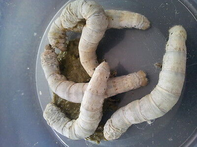 40-60 LIVE Silkworms SMALL with FREE feeding tongs reptile live food