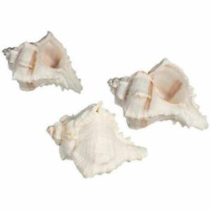 Hermit-Crab-Shell-3-White-Murex-Shells-2-5-034-3-5-034