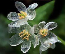 25x Crystal Skelett Blume Samen Garten selten Saatgut Pflanze Rarität Frisch #39