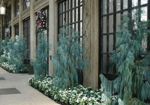 Kashmir Pine Bonsai Hardy Cupressus cashmeriana 30 WEEPING CYPRESS SEEDS