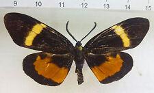 Eucorma mindanaoensis M ex Mt.Diwata ,Surigao, Mindanao, Philippines  n675