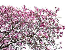 Stunning Japanese Tree Flowers Canvas Picture 104 Abstract Nature