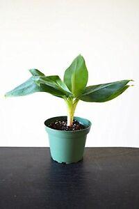 Truly-Tiny-Tiny-Musa-Banana-Tree-4-034-Pot-Great-Fruit-Live-Plant-Garden-Home-Gift