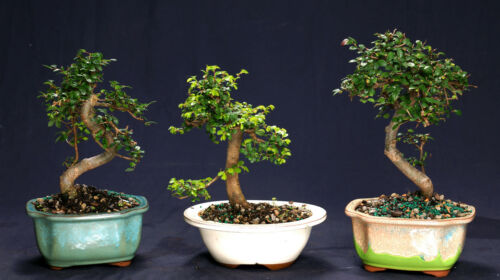 Chinese Elm Bonsai Outdoor//Indoor Small Beginner Bonsai Tree CE9005