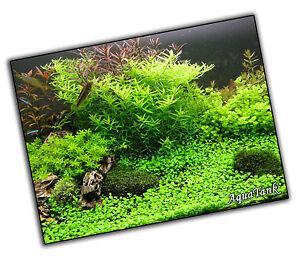 Carpeting Plants - Live Aquatic Aquarium Tropical Fish Tank Plants Shrimps Easy