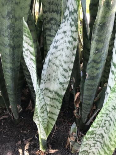 2 Rooted Cuttings Mother in Law's Tongue AKA Snake Plant Drought Tolerant