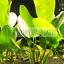 Echinodorus Ozelot Green Bunch Freshwater Live Aquarium Plant Decorations Easy