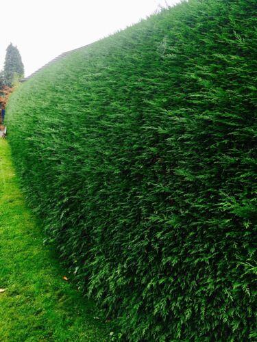 6 Green Leylandii Evergreen Conifer Hedging 30-40cm fast growing