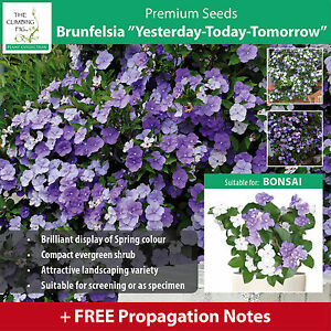 Brunfelsia yesterday today tomorrow purple white flowers on image is loading brunfelsia yesterday today tomorrow purple amp white flowers mightylinksfo Image collections