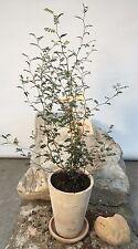 Sophora prostrata - japanischer Schnurbaum - Tontopf mit Untersetzer