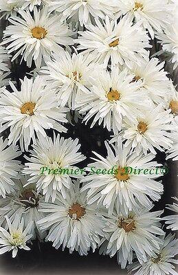 PERENNIAL FLOWER LEUCANTHEMUM CRAZY DAISY 150 FINEST SEEDS