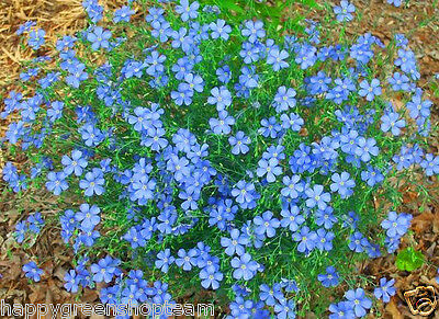 BLUE FLAX - 1400 seeds - Linum perenne - Perennial  Flower