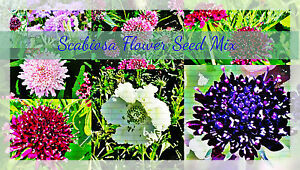Sweet-Scabiosa-Doubles-Mix-Flower-40-plus-Seeds