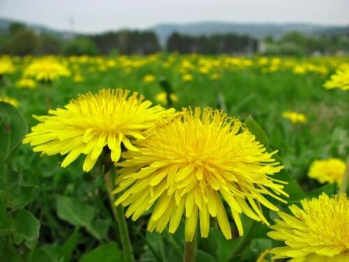 1300 graines fleur sauvage Taraxacum officinale cobaye alimentaire Dandelion lapin