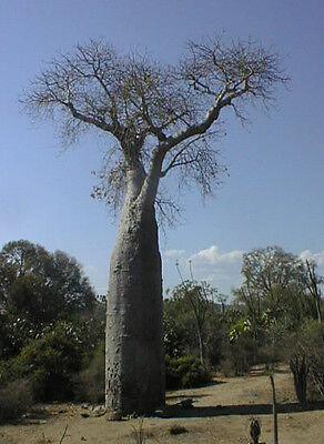 Adansonia digitata 20-1000 Samen Afrikanischer Affenbrotbaum