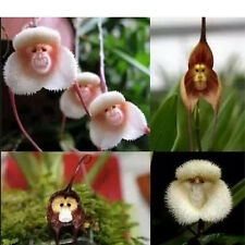 Home Garden Dracula Simia Monkey Face Orchid Seeds Potted Plant Flower 10PCS