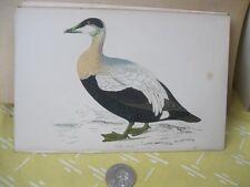 Vintage Print,EIDER DUCK,History  British Birds,Morris,c1870
