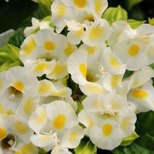 Torenia-Seeds-Kauai-Lemon-Drop-Seeds-50-Pelleted-Seeds