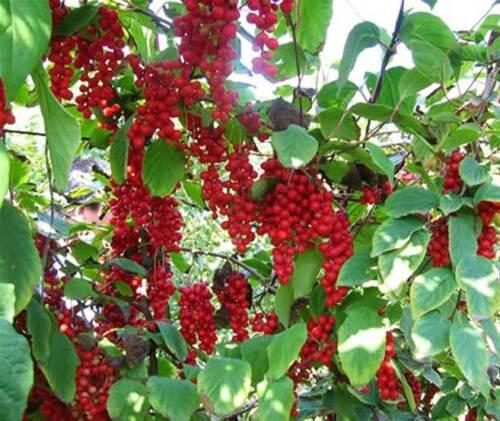 20 semi-cinque sapore Berry Wu Wei Zi Schisandra chinensis