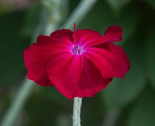 100 graines vexiernelke Lumière Oeillet-rouge foncé dauerblüher