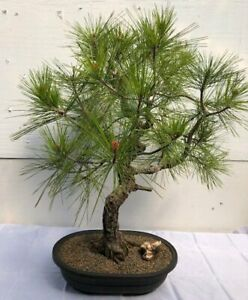 Japanese Black Pine Bonsai Treeart Shaped Curved Strunk With Tiered Branching Ebay