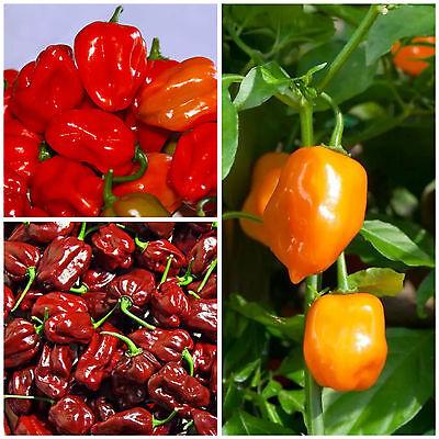 Angebot Habanero orange Habanero rot Samen Chili Chilisamen Habanero chocolate