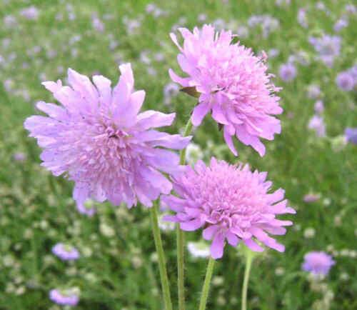 Knautia arvensis WITWENBLUME über 50 Samen