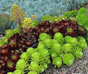 Succulent-Aeonium-arboreum-SO-LIME-GREEN-Great-contrast-plant-25-cuttings