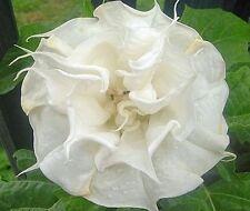 Datura, Stechapfel, Engelstrompete, Double White Purity,10 Samen,10 seeds