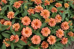 50-Zinnia-Seeds-Profusion-Double-Deep-Salmon