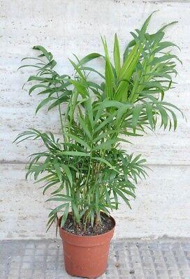 Chamaedorea piccola palma piante da interno pianta da for Piante acquisto
