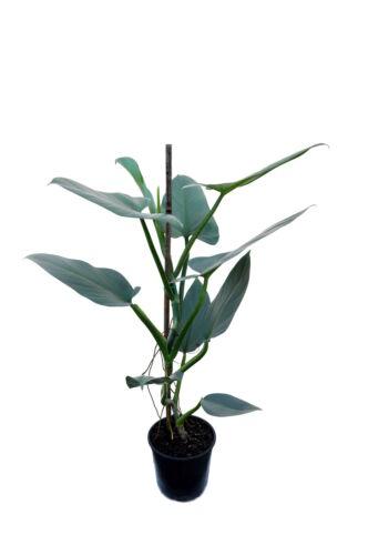 RARE Philodendron hastatum SILVER SPADA tropicali casa impianto di taglio ben radicato