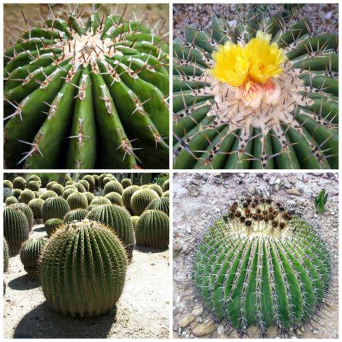 cactus seeds 10 graines de Echinocactus ingens F plantes grasses