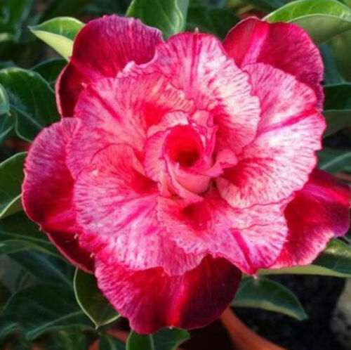 "adenium obesum flower bonsai ""Gypsophila"" seeds #D055 5 pcs desert rose"