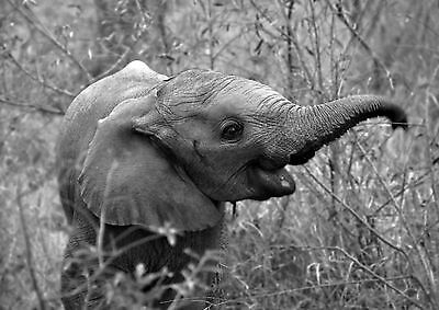 Framed Print – Black & White Baby Elephant (Picture Wild African Animal Art)