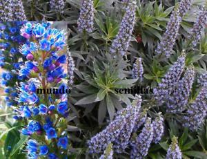 Echium Candicans Turm Schmuck Blau 25 Saatgut Pride Of Madeira