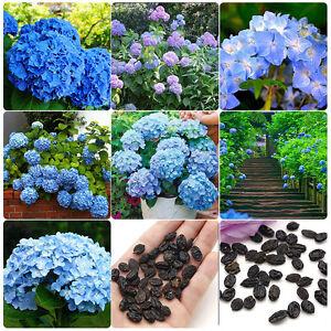 50 Stück Hortensie Blau Blume Samen Pflanzen Chinesische Garten ...