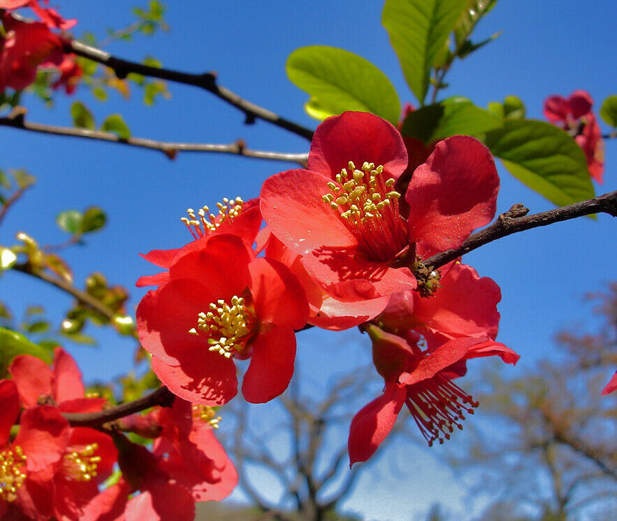 Japanese Quince Chaenomeles japonica 10 Seeds (Free US Shipping)