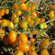 Very Sweet Yellow Grape Tomato!  20 Seeds! LOW ACID! COMBINED S/H
